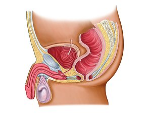 Source: medicalimages.com. Testicle shown in purple with epididymis running along back.
